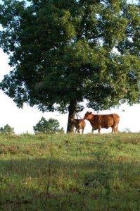 whiterock_cowsonpasture