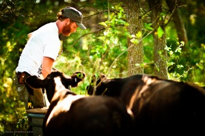 Tyler Carlson and cattle at Early Boots Farm.  Photo courtesy of Corina Bernstein, copyright 2012.